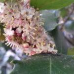 Holly-Ilex-aquifolium-Stechpalme